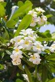 Plumeria kwiatu biel na drzewach fotografia royalty free