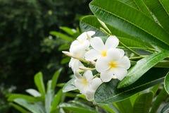 Plumeria kwiatu okwitni?cie w lesie po deszczu w Chiang Mai, Tajlandia w kontek?cie niebieskie chmury odpowiadaj? trawy zielone n obrazy stock
