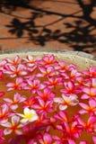 Plumeria kwiatu przygotowania Obraz Royalty Free