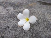 Plumeria kwiatu spadek na cementowej podłodze zdjęcia stock