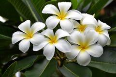 Plumeria kwiaty zdjęcia stock