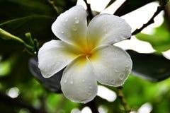 Plumeria kwiaty fotografia stock