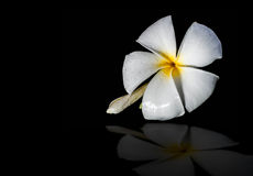 Plumeria kwiaty Obraz Stock