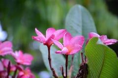 Plumeria kwiaty Obrazy Stock