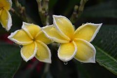 Plumeria kwiaty Zdjęcia Royalty Free