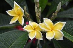 Plumeria kwiaty Obrazy Royalty Free