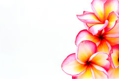 Plumeria kwiaty odizolowywający Zdjęcia Stock