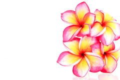 Plumeria kwiaty odizolowywający Obraz Royalty Free