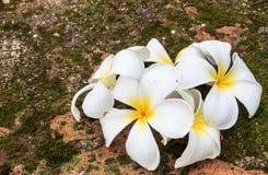 Plumeria kwiaty, Piękny biel Fotografia Royalty Free