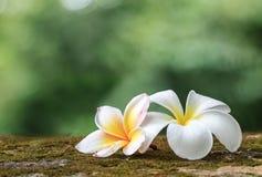 Plumeria kwiaty, Piękny biel Zdjęcie Stock