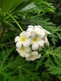 Plumeria kwiaty są kwiatem obrazy stock