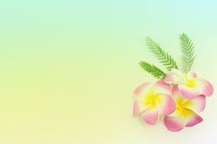 Plumeria kwiaty w miękkim kolorze, zdjęcia royalty free