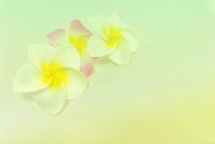Plumeria kwiaty w miękkim kolorze, obraz stock