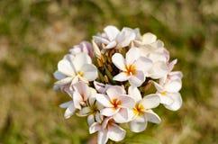 Plumeria kwitnie świeżość dzień na grenn tle fotografia royalty free