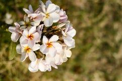 Plumeria kwitnie świeżość dzień na grenn tle zdjęcie stock