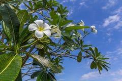 Plumeria kwitnie, bielu i koloru żółtego kwiaty z zieleń liśćmi, i zdjęcie royalty free