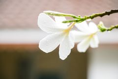 Plumeria kwitnie dżdżystego Obrazy Royalty Free