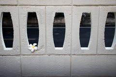 Plumeria kwitnie na białych ściana z cegieł dla tła fotografia stock