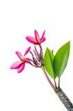 Plumeria kwiaty odizolowywający na bielu Zdjęcia Stock