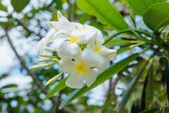 Plumeria kwitnie na krzaku Obraz Stock