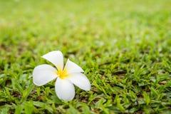 Plumeria kwitnie na trawie Obraz Stock