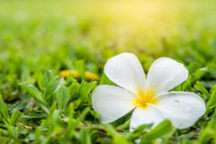 Plumeria kwitnie na trawie Fotografia Royalty Free