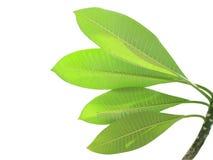 Plumeria leaf. Isolated Plumeria leave on white background royalty free stock photos