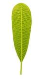 Plumeria leaf. Isolated on white background Royalty Free Stock Images
