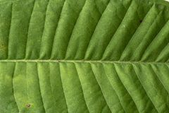Plumeria leaf Stock Photos