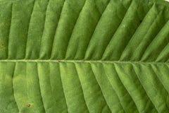 Plumeria leaf Stock Photos
