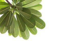 Plumeria leaf Stock Image
