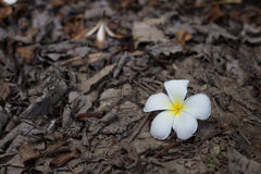 Plumeria on leaf residues ground Stock Photos