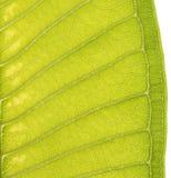 Plumeria Leaf texture Stock Photos