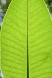 Plumeria Leaf Texture Royalty Free Stock Image