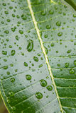Plumeria leaf with water drops Royalty Free Stock Photos