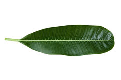 Plumeria leaf on white background. Green plumeria leaf on white background stock image