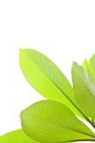 Plumeria leaves Royalty Free Stock Photos