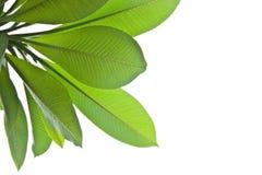 Plumeria leaves Stock Photography