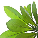 Plumeria leaves Stock Images