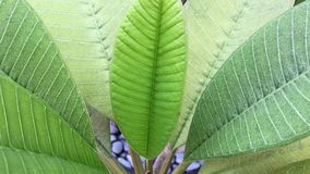 Plumeria leaves close up. At the park in George Town, Penang, Malaysia stock video footage