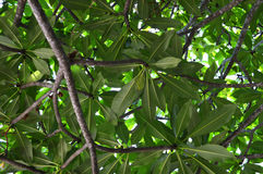 Plumeria leaves Royalty Free Stock Photo
