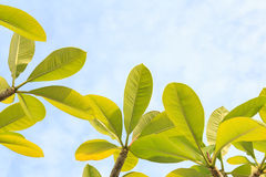 Plumeria leaves with sky Royalty Free Stock Photos