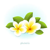 Vector plumeria with leaves. Vector realistic plumeria with leaves. White tropical flowers frangipani from Asia and Hawaii. Isolated from the background Royalty Free Stock Photos
