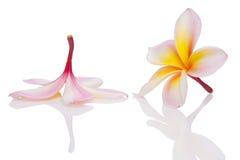 plumeria leelawadee frangipani lanthom Στοκ Εικόνα