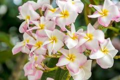Plumeria lub frangipani Zdjęcia Royalty Free