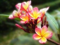 Plumeria lub frangipani Obrazy Stock