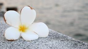 Plumeria lub Frangipani kwitniemy z rzecznym tłem zdjęcie wideo