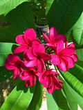 Plumeria magenta tropical Fotografía de archivo