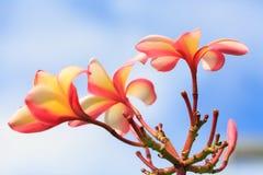 Plumeria menchie w ogródzie plenerowym i kolor żółty Fotografia Stock