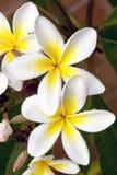 Plumeria met Regendruppels Royalty-vrije Stock Afbeeldingen